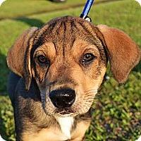 Adopt A Pet :: *Gilbert - PENDING - Westport, CT