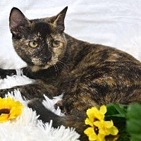 Domestic Shorthair Cat for adoption in St. Cloud, Florida - Brandy