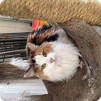 Adopt A Pet :: Calle - Temecula, CA