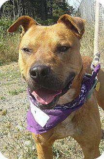 Shar Pei/Rhodesian Ridgeback Mix Dog for adoption in Crescent City, California - Rusty