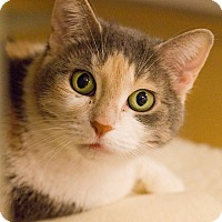 Calico Cat for adoption in Grayslake, Illinois - Sheriff Callie