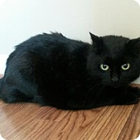 Domestic Shorthair Cat for adoption in Herndon, Virginia - Truffle