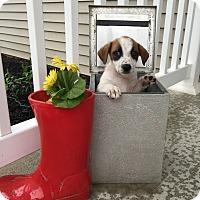 Adopt A Pet :: Nici - New Oxford, PA