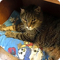 Adopt A Pet :: Chocolate - Acushnet, MA