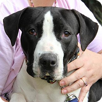 American Bulldog/Basset Hound Mix Dog for adoption in Olympia, Washington - Willow