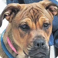Adopt A Pet :: Destimy - Germantown, MD
