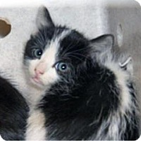 Domestic Shorthair Kitten for adoption in Wildomar, California - 314868