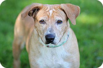 Labrador Retriever/Hound (Unknown Type) Mix Dog for adoption in Midland, Michigan - Molly
