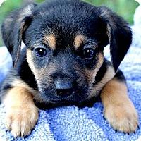 Adopt A Pet :: DUFFY(TINY