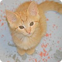 Adopt A Pet :: Cheddar - San Leon, TX