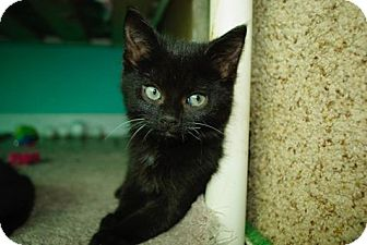Domestic Shorthair Kitten for adoption in THORNHILL, Ontario - The Eggman