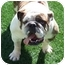 Photo 2 - English Bulldog Dog for adoption in San Diego, California - Vernon-Adoption Pending