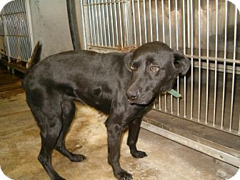 Labrador Retriever Dog for adoption in Carey, Ohio - Annie