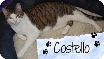 Domestic Shorthair Cat for adoption in River Edge, New Jersey - Costello