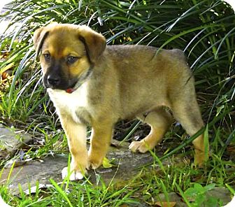 German Shepherd Dog/Labrador Retriever Mix Puppy for adoption in Miami, Florida - Bruno