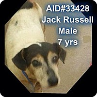 Jack Russell Terrier Dog for adoption in Columbia, Tennessee - Robin/GA