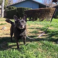 Adopt A Pet :: Corkey - Sacramento, CA