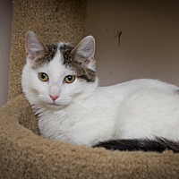 Domestic Shorthair Cat for adoption in Chicago, Illinois - Adam