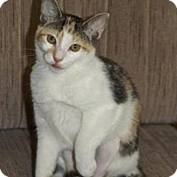 American Shorthair Kitten for adoption in Englewood, Florida - Boo