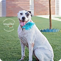 Pointer Mix Dog for adoption in Scottsdale, Arizona - Pepper