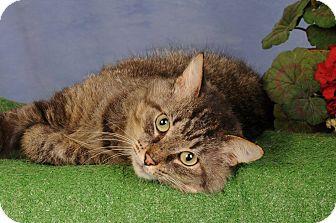 Domestic Mediumhair Cat for adoption in mishawaka, Indiana - Ken
