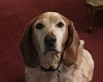 Basset Hound Dog for adoption in Charleston, South Carolina - Trevor