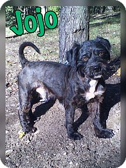 Schnauzer (Miniature) Mix Dog for adoption in Millersville, Maryland - Jojo