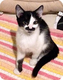 Domestic Shorthair Kitten for adoption in Mooresville, North Carolina - A..  Stash