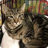 Domestic Shorthair Kitten for adoption in Furlong, Pennsylvania - Joey