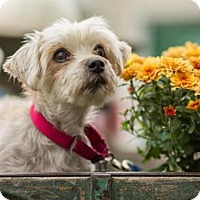 Adopt A Pet :: NIKO - Methuen, MA