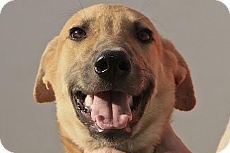Retriever (Unknown Type)/Labrador Retriever Mix Dog for adoption in Wonder Lake, Illinois - Jalan