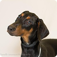 Doberman Pinscher Puppy for adoption in St. Louis Park, Minnesota - Tom - Pending Adoption