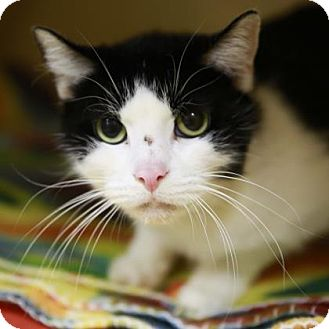 Domestic Shorthair Cat for adoption in Kettering, Ohio - Jersey