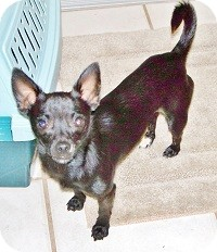 Chihuahua Mix Puppy for adoption in AUSTIN, Texas - PUCKETT