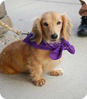 Dachshund Dog for adoption in Baton Rouge, Louisiana - Henry