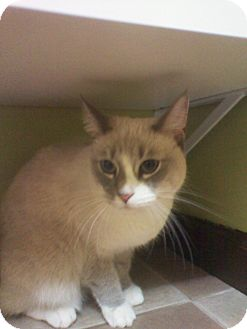 Siamese Cat for adoption in Monroe, Georgia - Silver