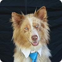 Adopt A Pet :: Sinatra - Plano, TX