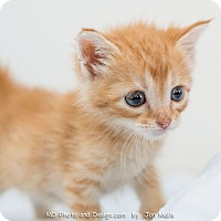 Adopt A Pet :: MIkey - Fountain Hills, AZ