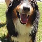 Adopt A Pet :: Koda