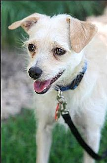Terrier (Unknown Type, Small)/Chinese Crested Mix Dog for adoption in Studio City, California - Frodo
