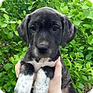 Adopt A Pet :: Domino Pup Courtney