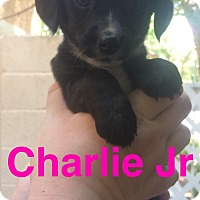 Adopt A Pet :: Charlie, Jr. - Las Vegas, NV