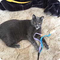 Adopt A Pet :: Diamond (Front Declawed) - Sterling Hgts, MI