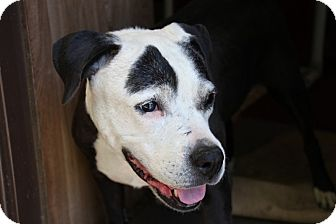 American Staffordshire Terrier/Labrador Retriever Mix Dog for adoption in Eugene, Oregon - Tara