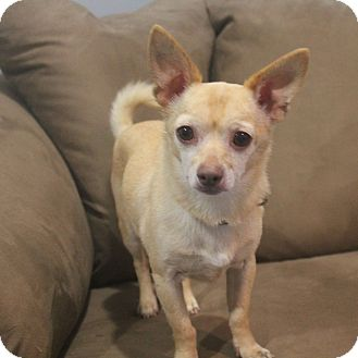 Chihuahua Mix Dog for adoption in Minneapolis, Minnesota - Buster