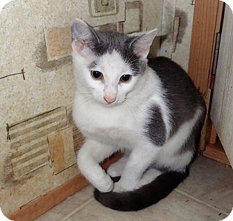 Domestic Shorthair Kitten for adoption in North Wilkesboro, North Carolina - Yoshi