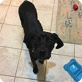 Coonhound/Labrador Retriever Mix Puppy for adoption in MCLEAN, Virginia - Hermoine
