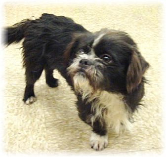 Shih Tzu/Terrier (Unknown Type, Small) Mix Dog for adoption in Las Vegas, Nevada - Rudy
