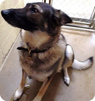 German Shepherd Dog Dog for adoption in Crown Point, Indiana - Anna