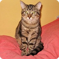 Domestic Shorthair Kitten for adoption in Colmar, Pennsylvania - Jenny
